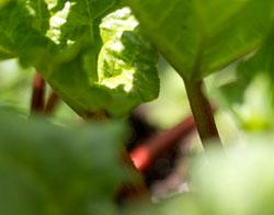Rabarber i haven