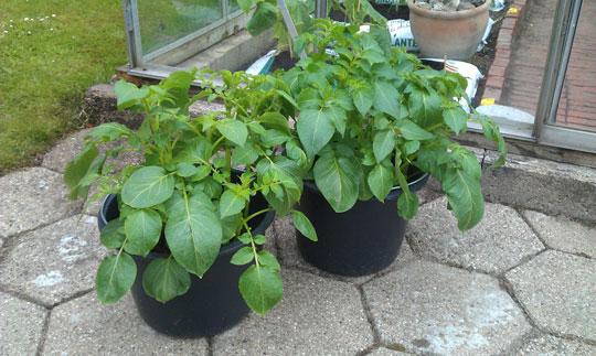 Kartofler i spand dyrket i drivhuset