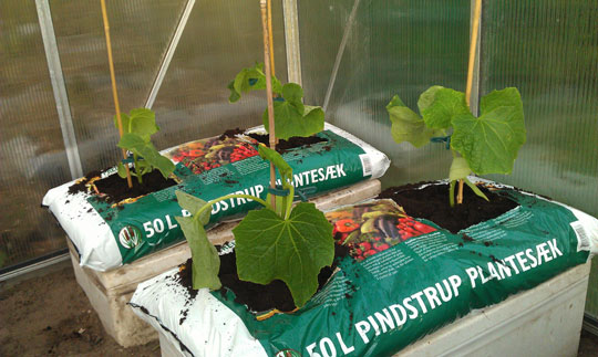 Agurkeplanter i drivhuset
