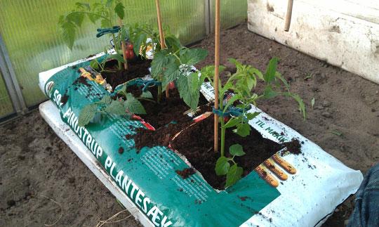 Tomatplanter i drivhuset