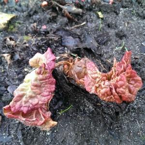 Rabarber-spirer i haven