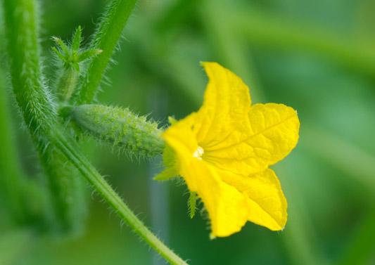 Agurk med blomst